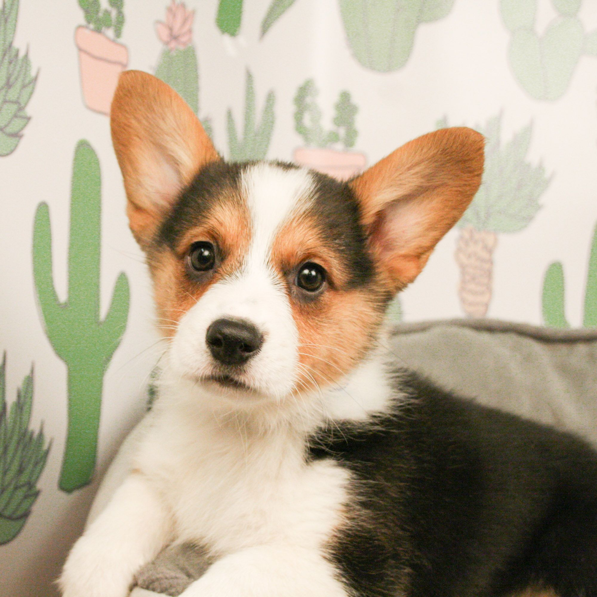 Pembroke Welsh Corgi Puppies Available In Phoenix Tucson Az