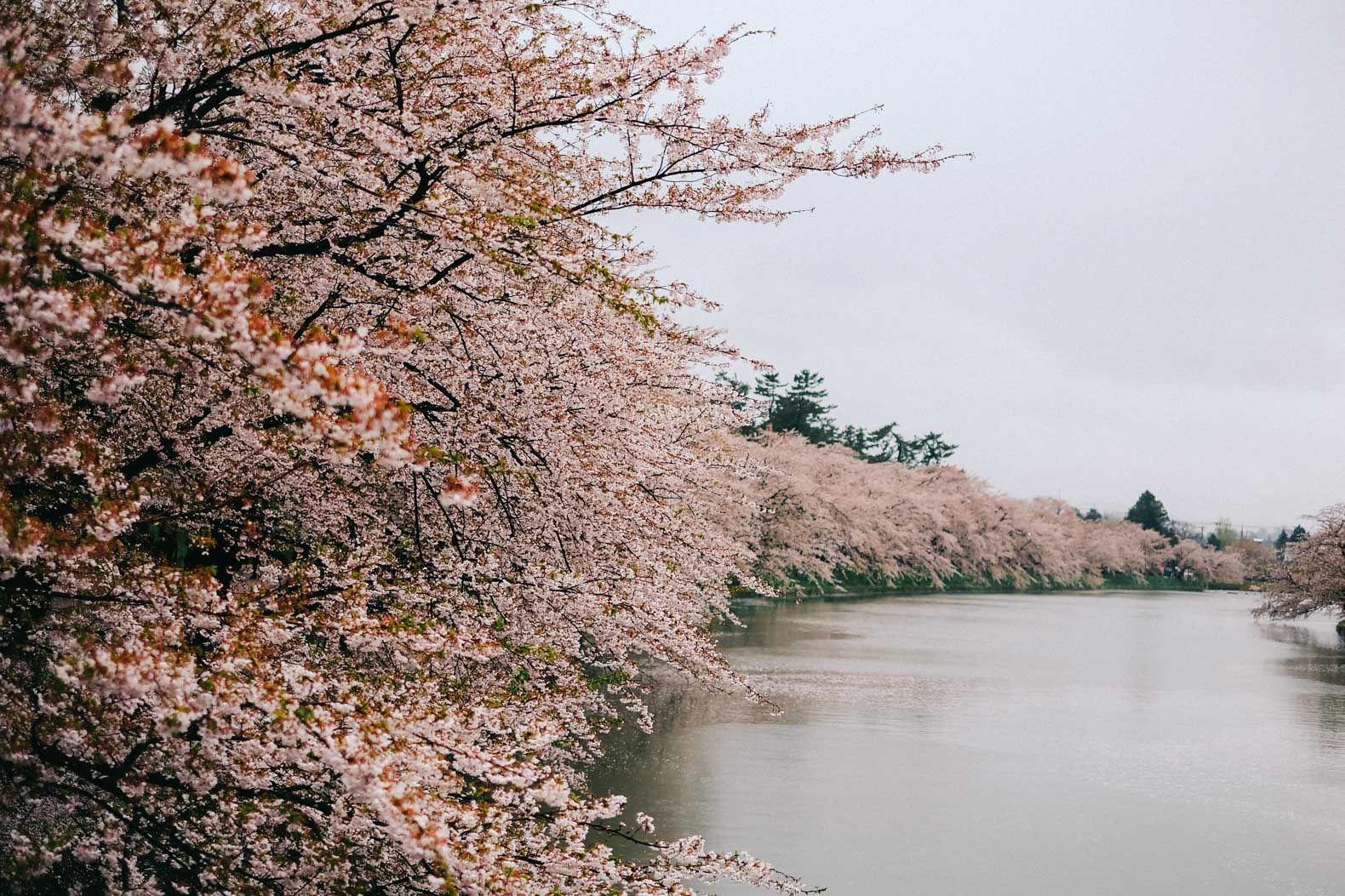 Northern Japan S 2 500 Tree Cherry Blossom Wonderland Japan Travel Japan Cherry Blossom Japan