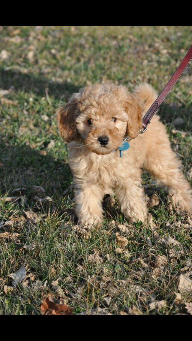 Miniature goldendoodle puppy Goldendoodle puppy, Puppies