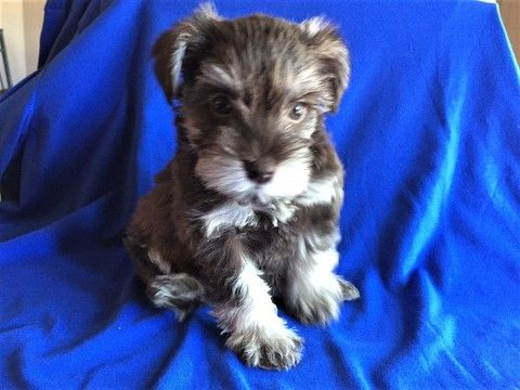 Litter Of 6 Schnauzer Miniature Puppies For Sale In Afton Ok Adn 31456 On Puppyfinder Com Ge Miniature Puppies Miniature Schnauzer Puppies Puppies For Sale