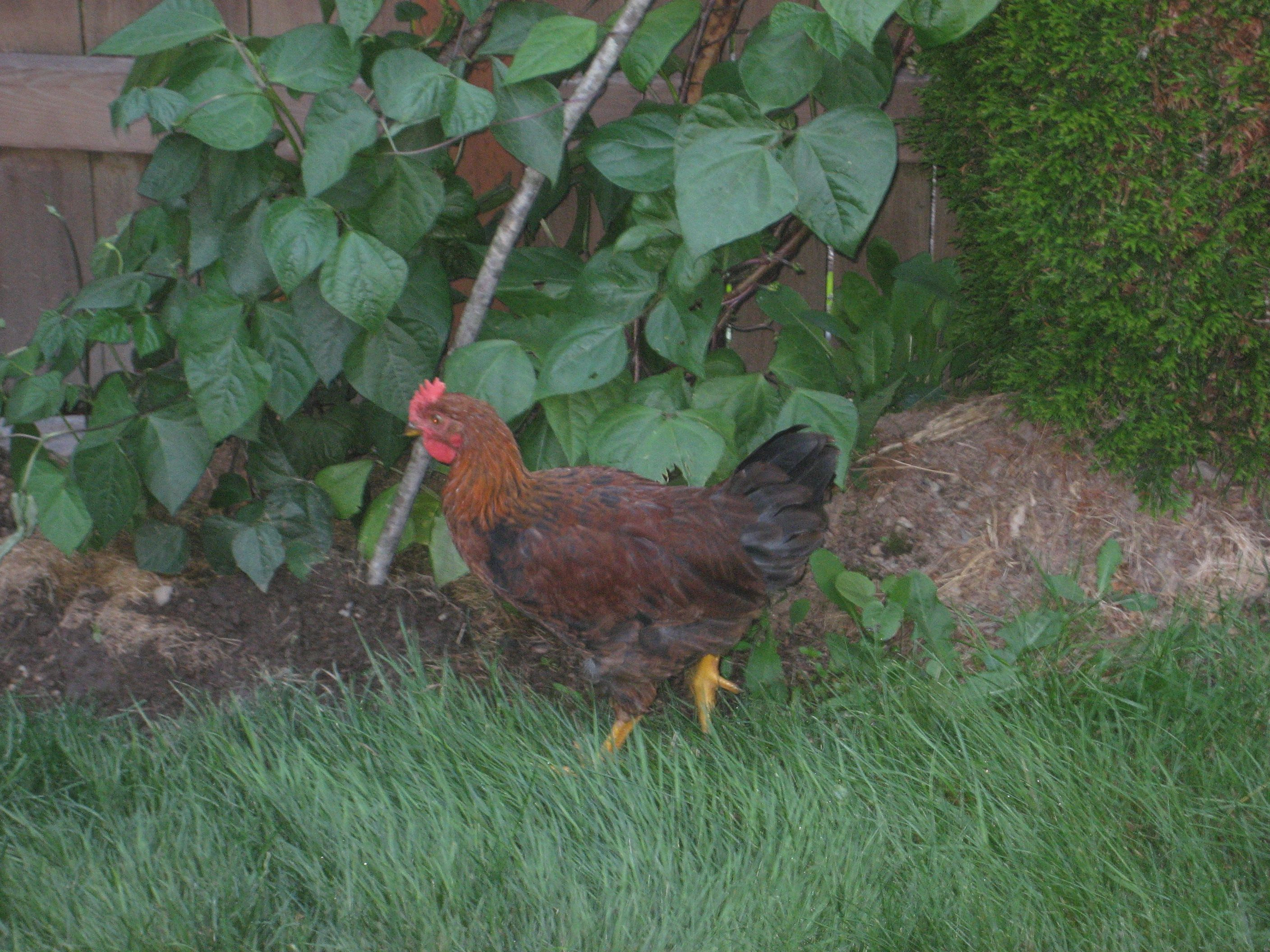 SPY CHICKEN IN NY BACKYARD! ... 2 yrs ago :P
