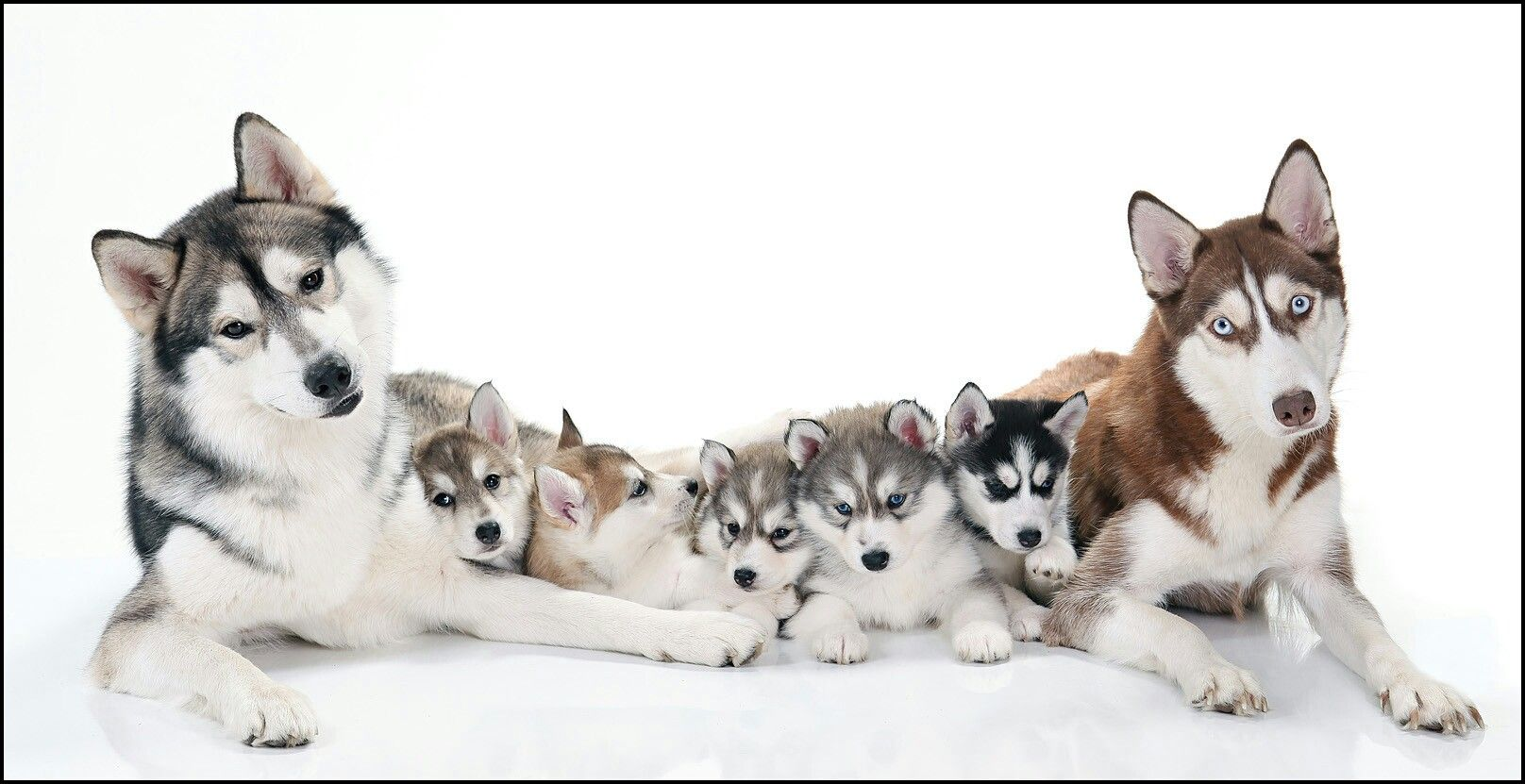 Husky Family Dog Lovers Siberian Husky Puppies