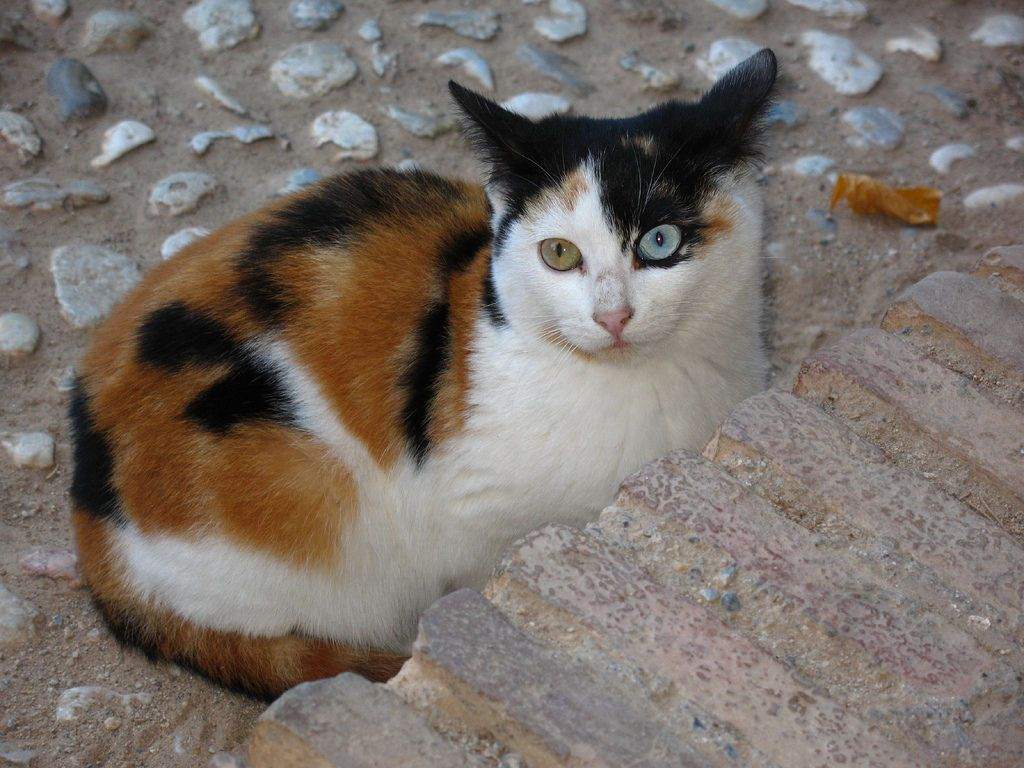 https://flic.kr/p/8VJJm9 | Alhambra cat | Bi-coloured eyes. One of many cats…