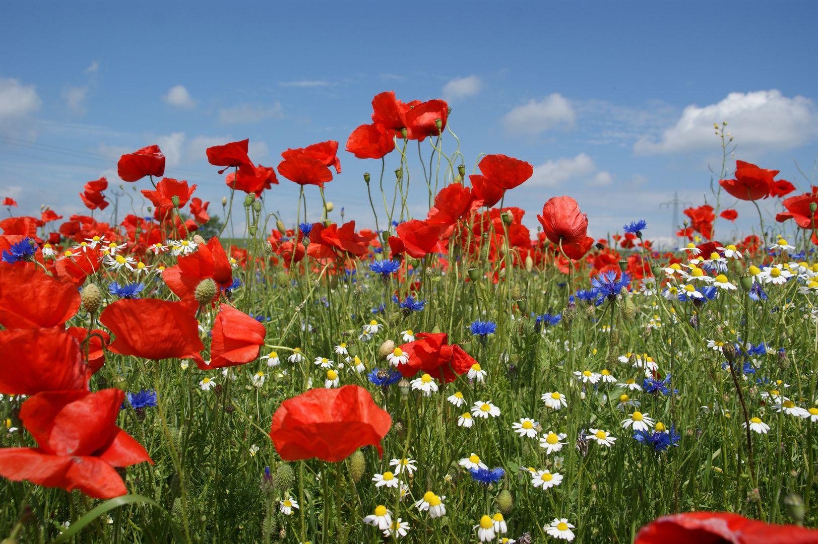 Mohnblumen Kornblumen Und Kamille Mohnblume Blumen Gemalde Mohn
