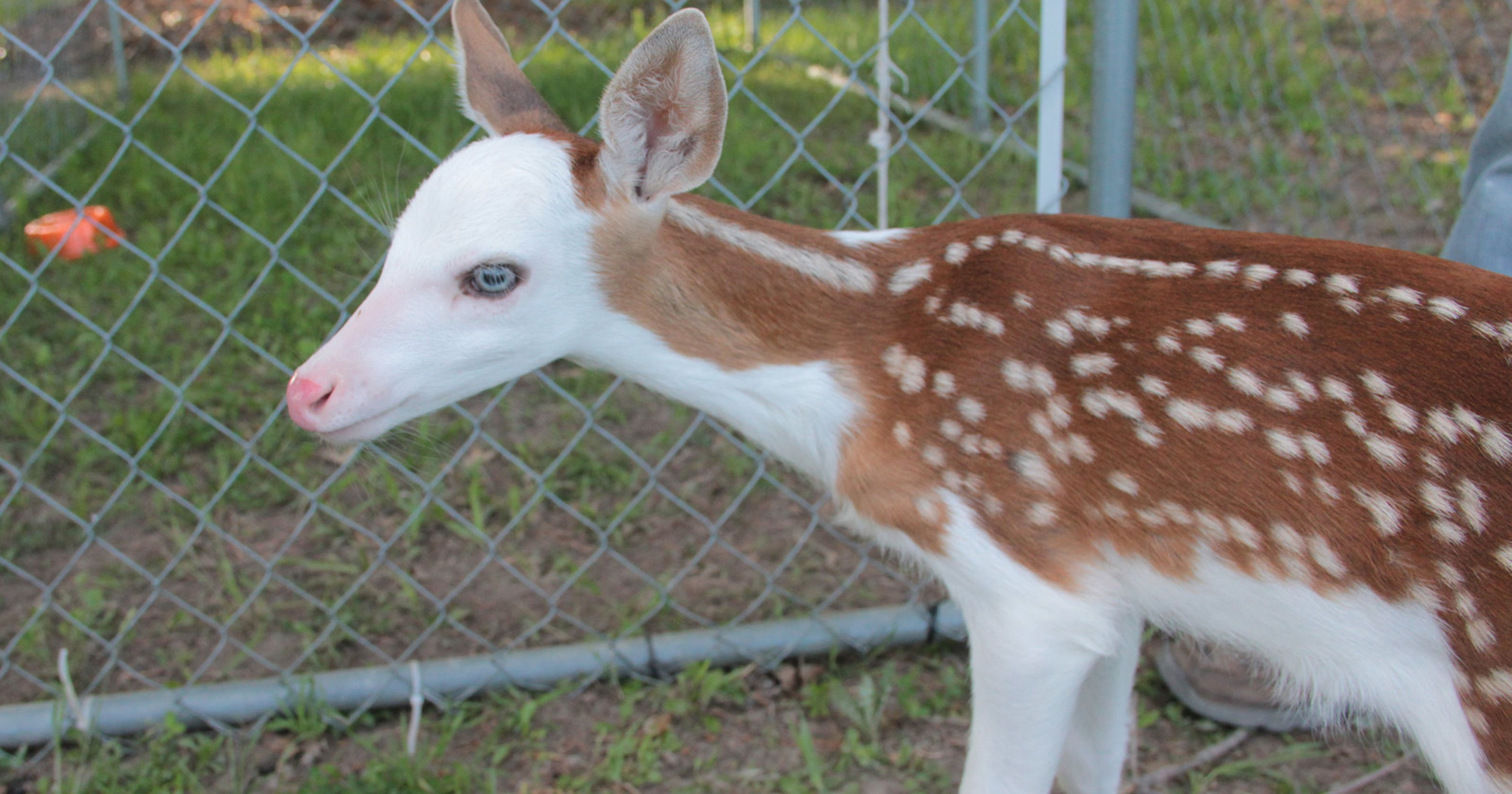 Should You Hunt Piebald Deer Melanistic Animals Deer Photography Albino Cat