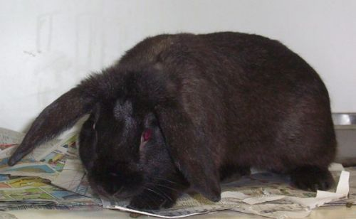 Lucky is a, black male, unneutered flemish giant/ lop ear mix.  He currently weighs 6 pounds.  He needs a good home where he will get plenty of exercise and attention.  He's an adorable bunny that loves to hop and play!