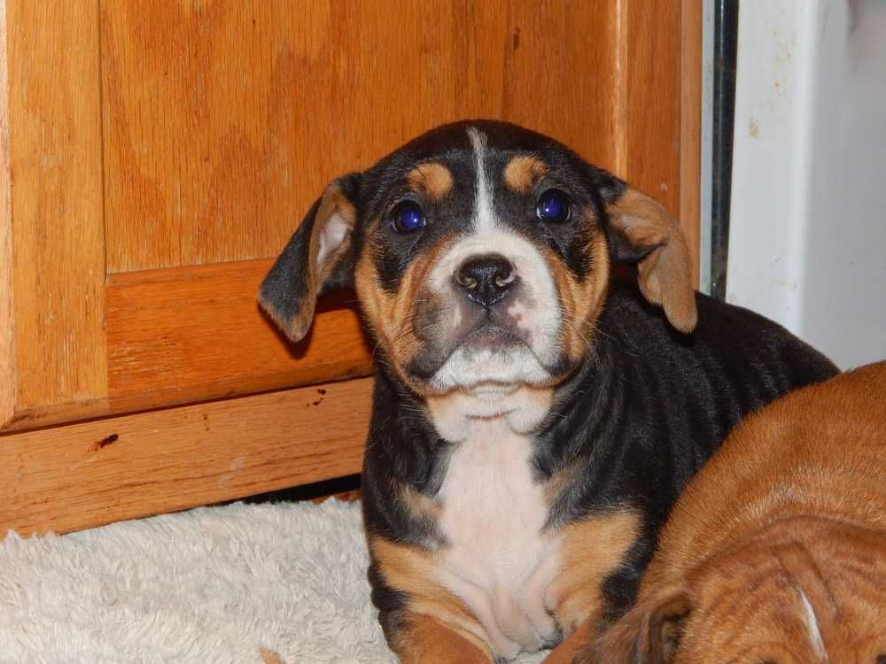 Boxer dog for Adoption in Fayette, MO. ADN417061 on