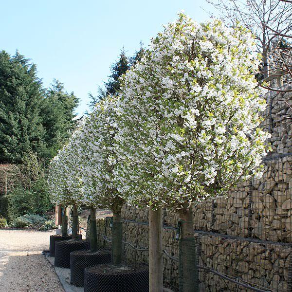 Pleached Trained Prunus Umineko Pleached Small Garden Trees Uk Small Garden Uk Dream Garden Backyards