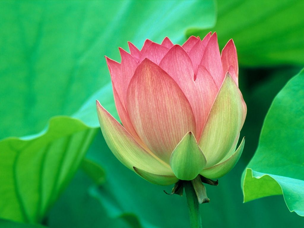 The glory of being the national flower of india goes to lotus or the glory of being the national flower of india goes to lotus or the water lily an aquatic plant of nymphaea family izmirmasajfo
