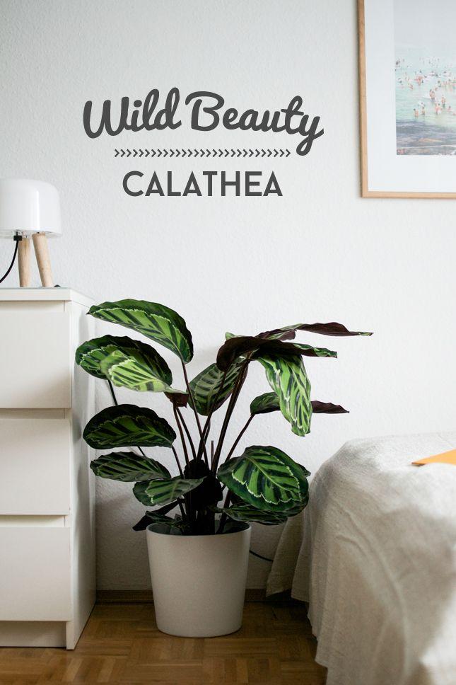 Entspannter schlaf mit der calathea lila gr n und pflanzen - Zimmerpflanzen schatten ...