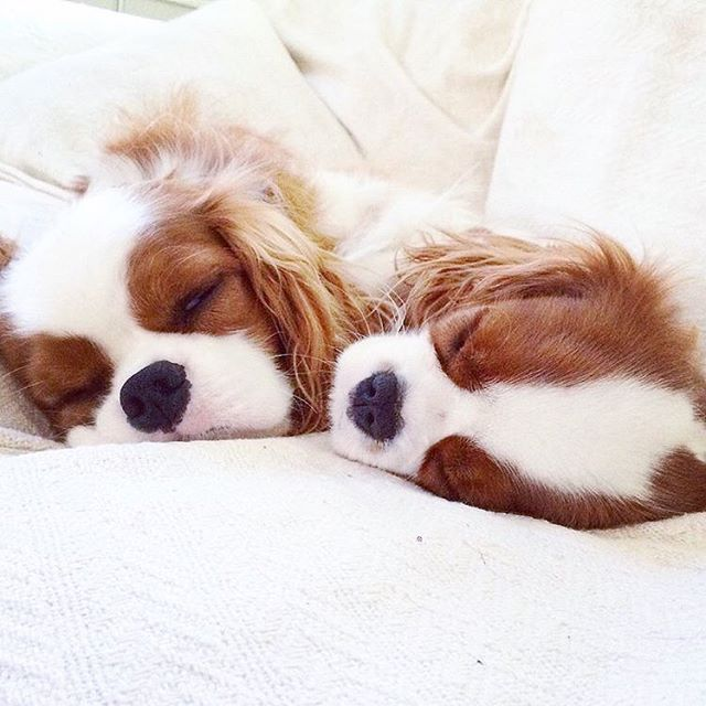 Pin By Keft On Puppy Please In 2020 King Charles Puppy King
