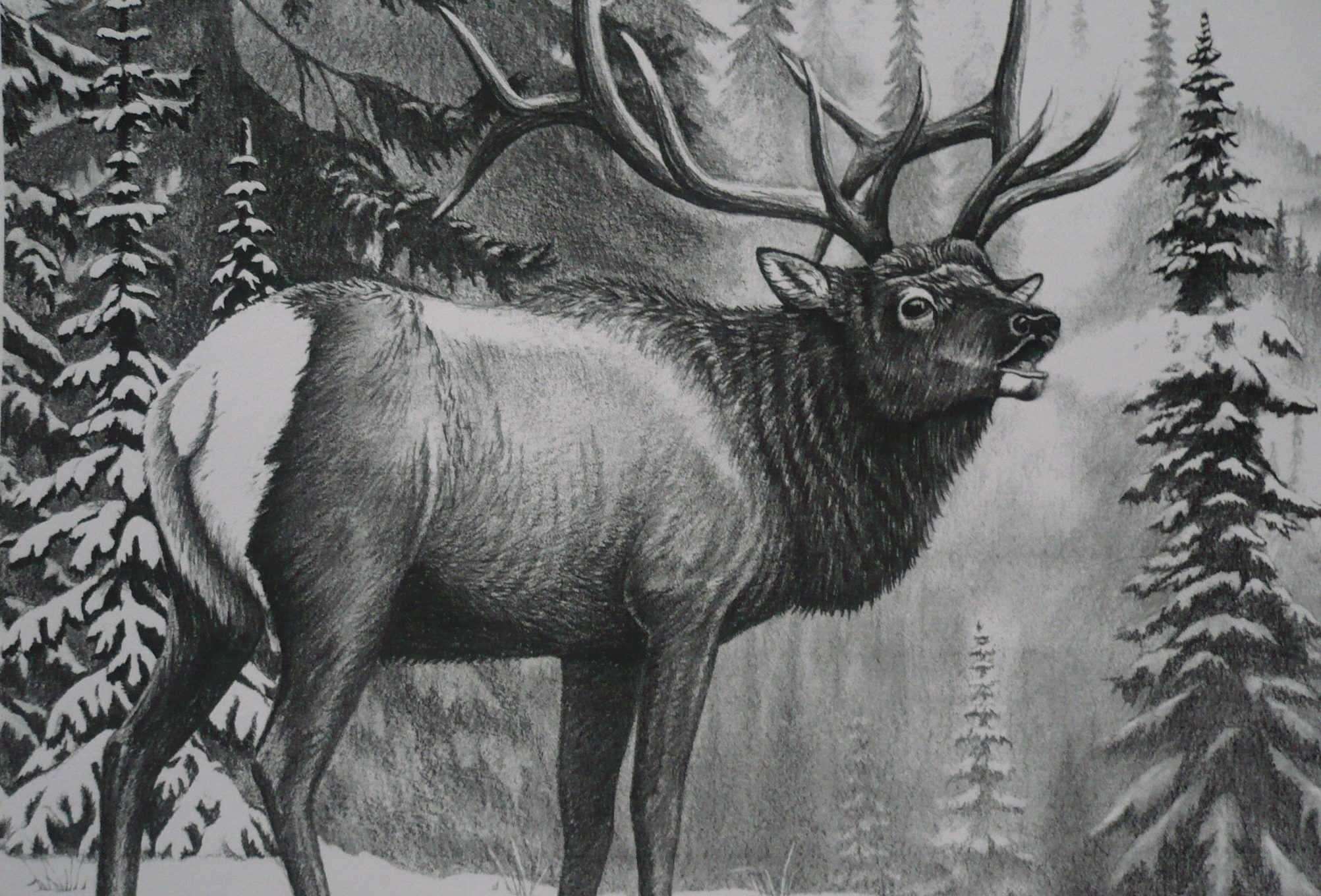 """Elk """"Standing Guard"""" in graphite pencil by Mary Clare ..."""