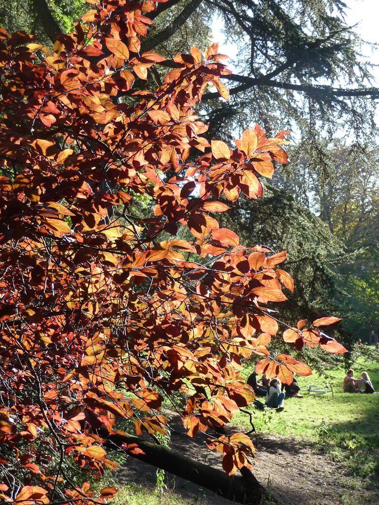 Soleil traversant le feuillage du prunier de Pissard (Prunus cerasifera 'Pissardii'), Parc des Buttes-Chaumont, Paris 19e (75), 30 septembre 2012, photo Alain Delavie  http://www.pariscotejardin.fr/2012/10/transparences-prunier-de-pissard/