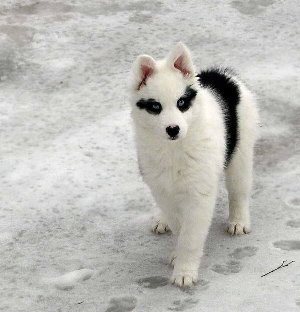 Raccoon Husky.