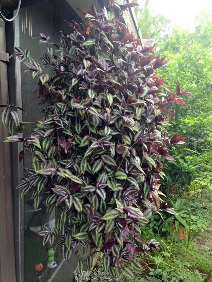 Wandering jew tradescantia zebrina container terrarium gardening pinterest wandering jew - Wandering jew plant name ...
