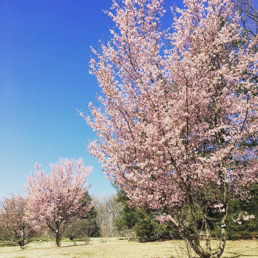 An Insider S Guide To Cherry Blossoms In Washington Dc Where S Bel Cherry Blossom Washington Dc Cherry Blossom Festival Cherry Blossom