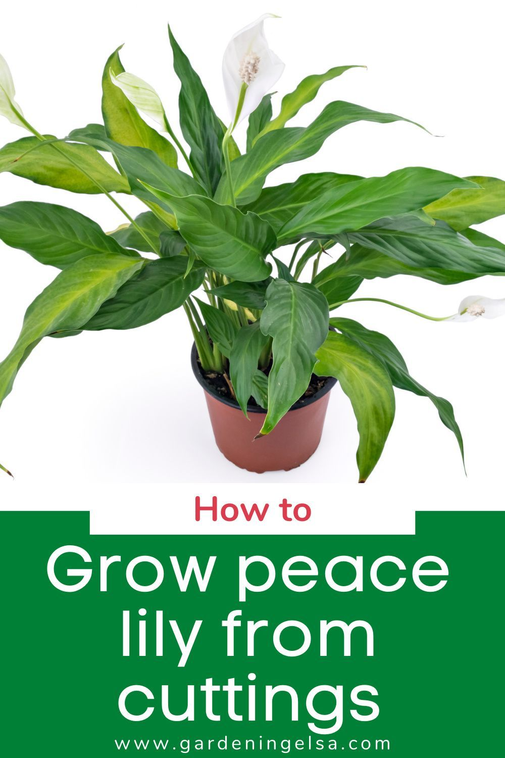 Grow Peace Lily From Cuttings Peace Lily Grow And Care Tips Peace Lily Lily Plants Peace Lily Plant