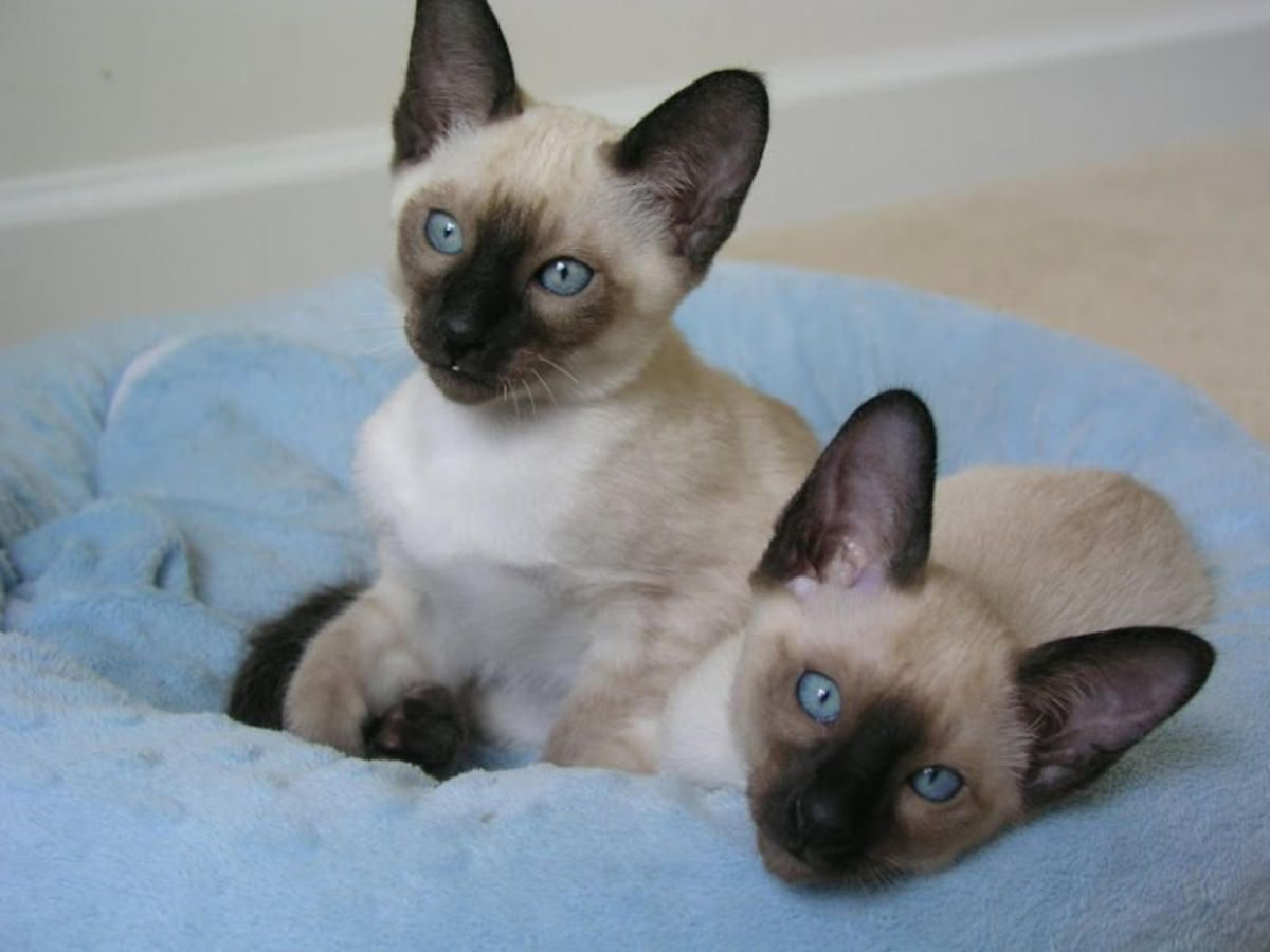 They re Beautiful Traditional Siamese Kittens For Sale in Mc Lean