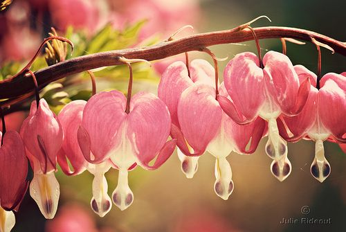 bleeding-hearts; I always loved these as a little girl. Something so romantic about them to me, even then.