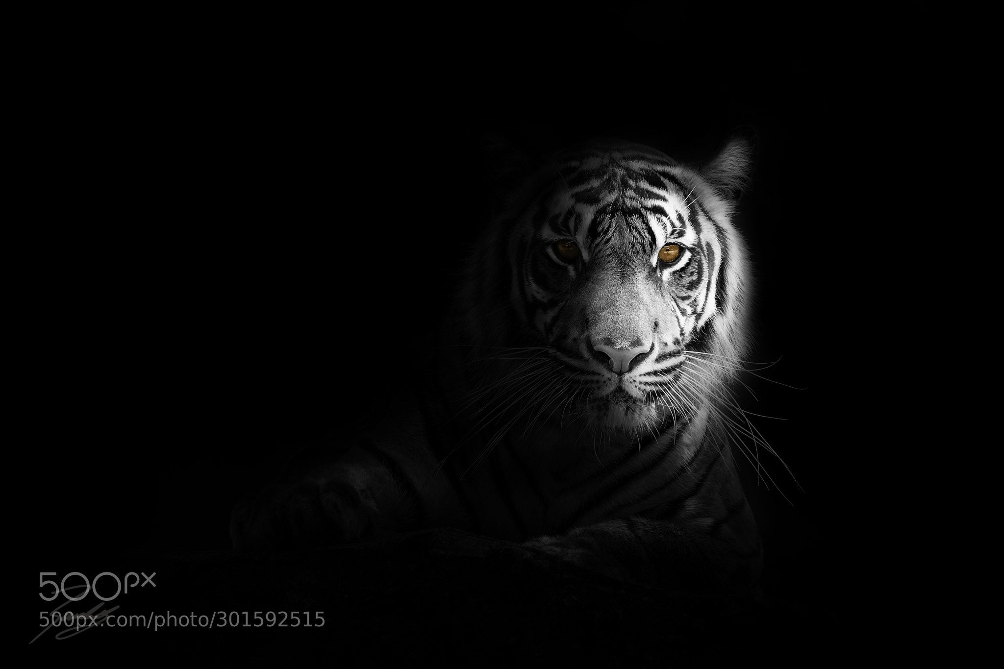 Eyes Of The Tiger By Randy R Pet Tiger Big Cats Animals