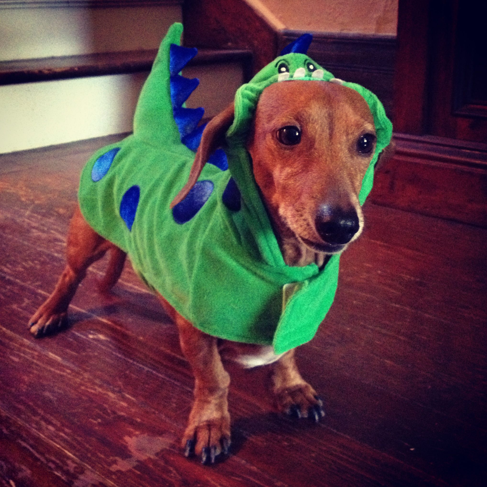 Winston Dressed As A Dinosaur Dachshund Halloween Costume