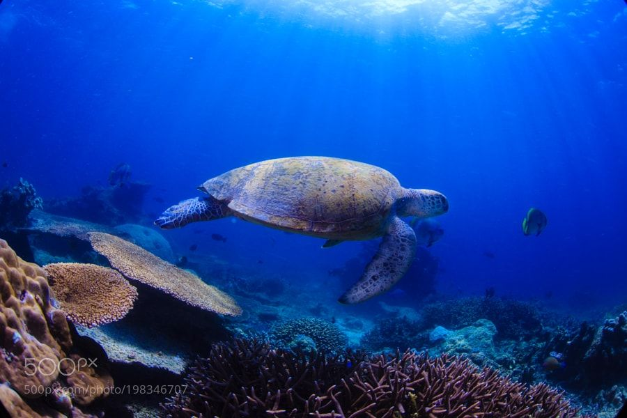 """Green turtle Sipadan Malaysia Go to http://iBoatCity.com and use code PINTEREST for free shipping on your first order! (Lower 48 USA Only). Sign up for our email newsletter to get your free guide: """"Boat Buyer's Guide for Beginners."""""""