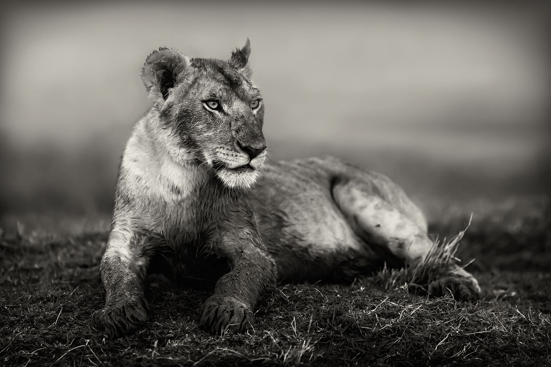 joven león en Kenia