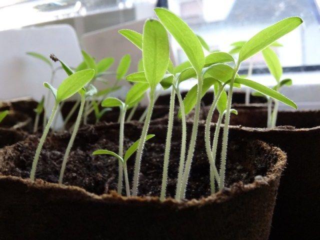 comment bien r ussir le semis des tomates jardins et plantes m thodes trucs astuces. Black Bedroom Furniture Sets. Home Design Ideas