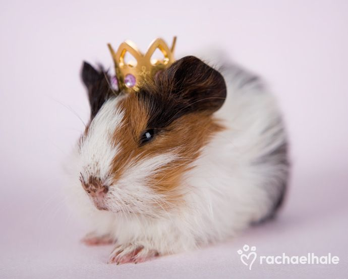 Arthur (Guinea Pig) - A face of white and brown, beneath a golden crown  (pic by Rachael Hale)
