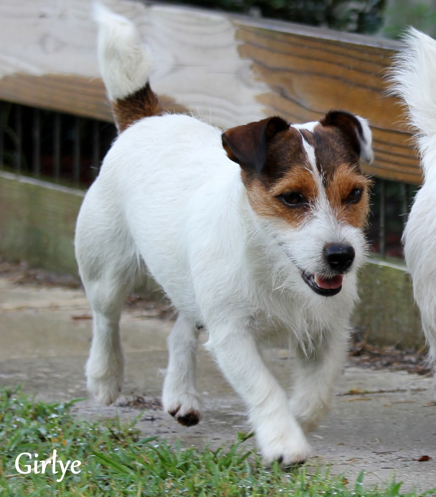 English Short Leg Jack Russell Terrier Puppies For Sale