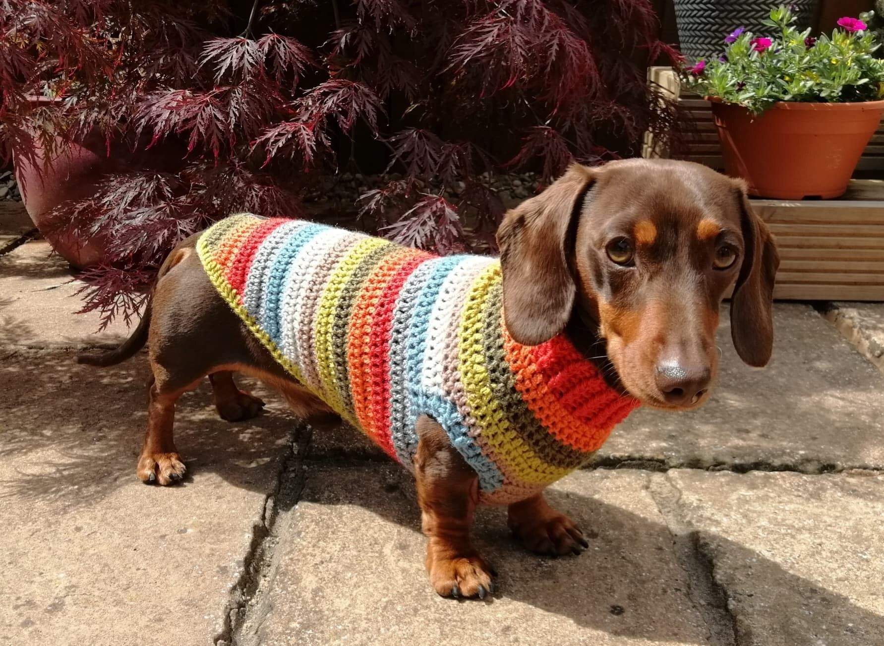 This Is Dudley Wearing His Latest Snazzy Sausage Dog Jumper Dog