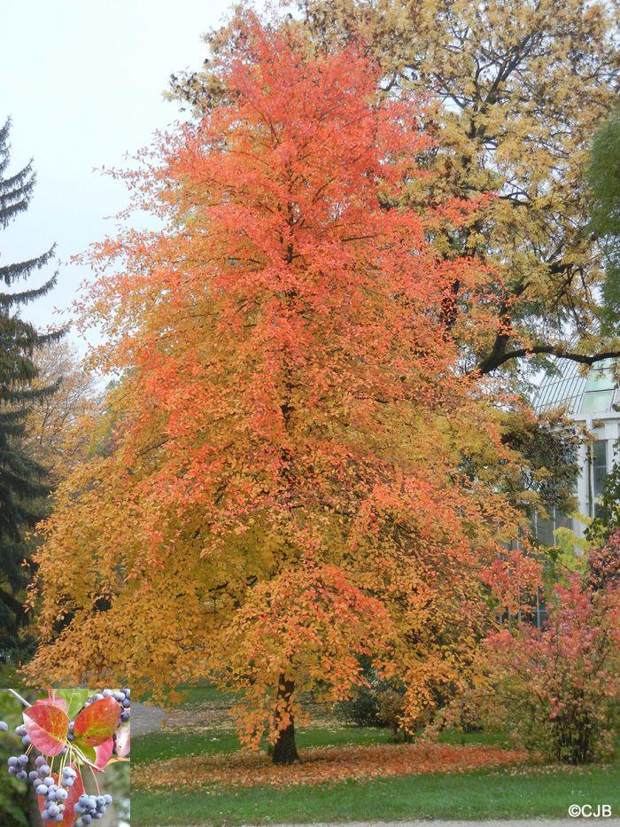 Nyssa sylvatica garden pinterest garden trees and shrub for Garden design under gum trees