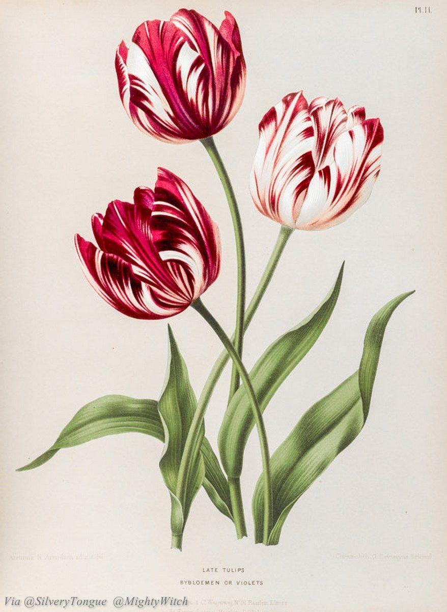 Tulip Botanical Illustration Google Search Vintage Botanical Prints Botanical Drawings Botanical Prints