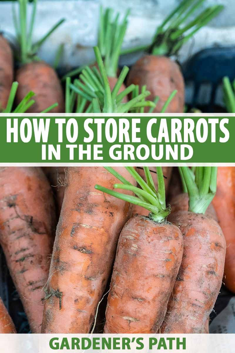 How to Store Carrots In the Ground Over Winter How to
