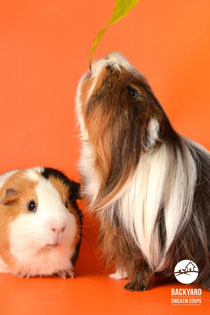Pin on guinea pig hutches