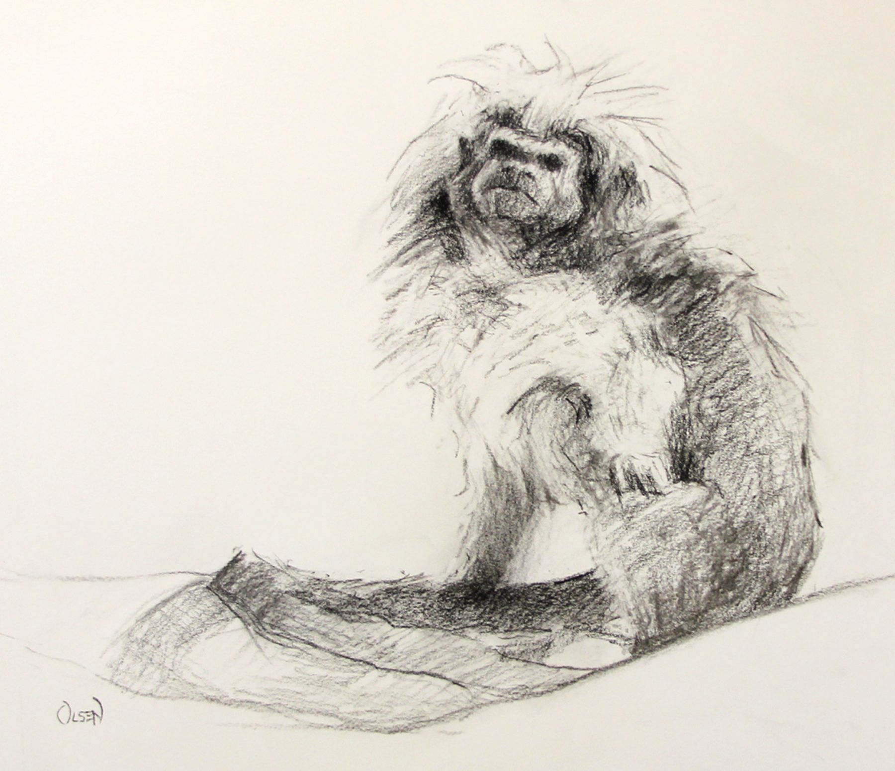 Cottontop Tamarin. charcoal on ivory toned paper. 11 x 14