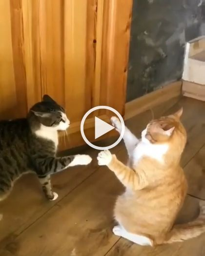 A Fierce Battle Of Two Cats Lol Funny Videos Funny Pictures