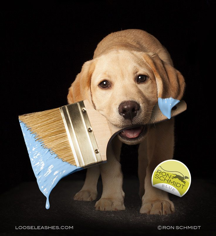 Blue Yellow Labrador Puppy Retriever Art Photo Print By