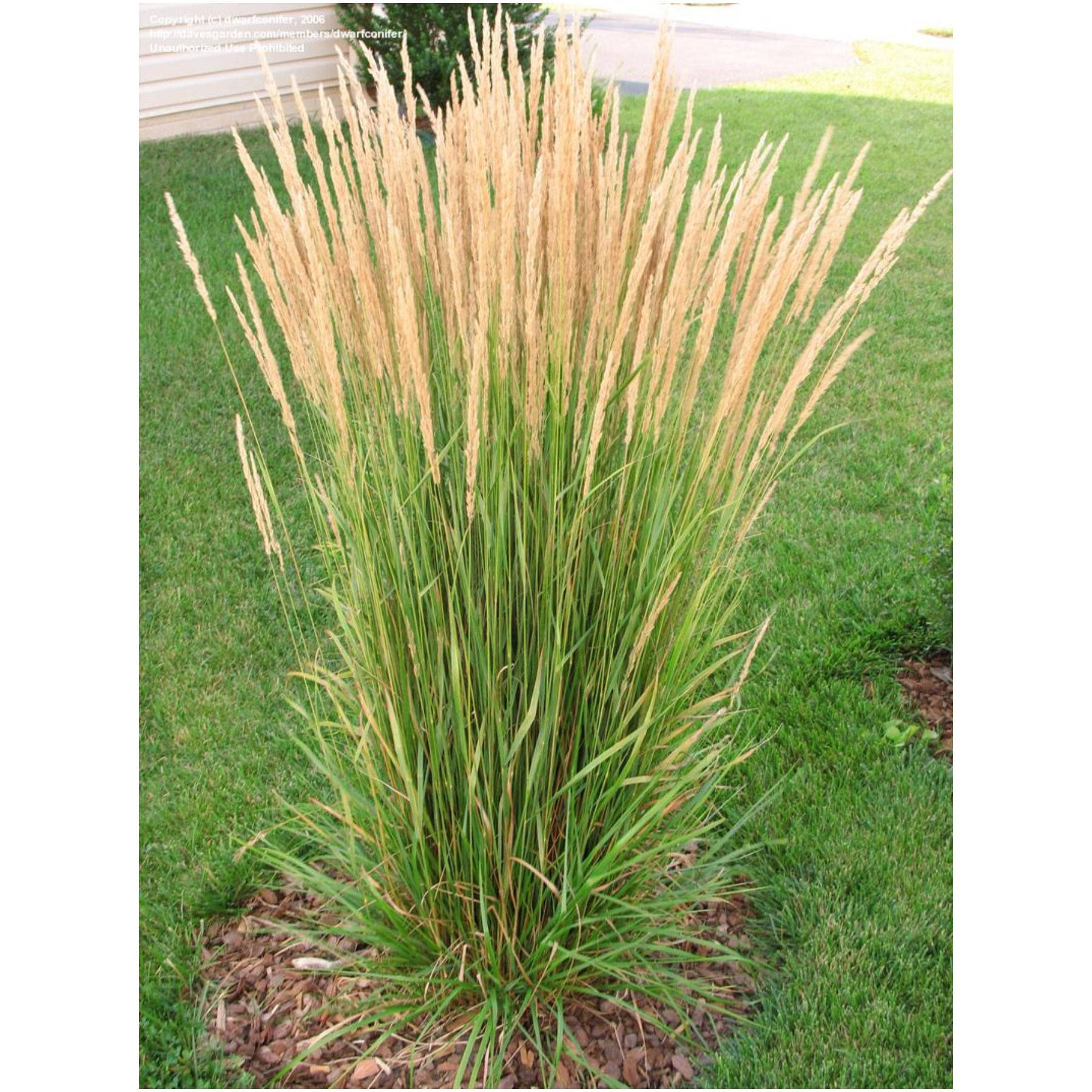 Picture of Live Feather Reed Grass aka Calamagrostis acut. 'Karl Foerster' Plant Fit 5 Gallon Pot