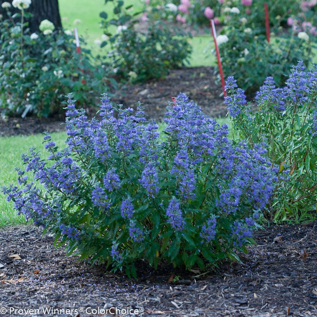 Beyond Midnight Bluebeard Caryopteris X Clandonensis Perennial Garden Plans Garden Shrubs Perennial Shrubs