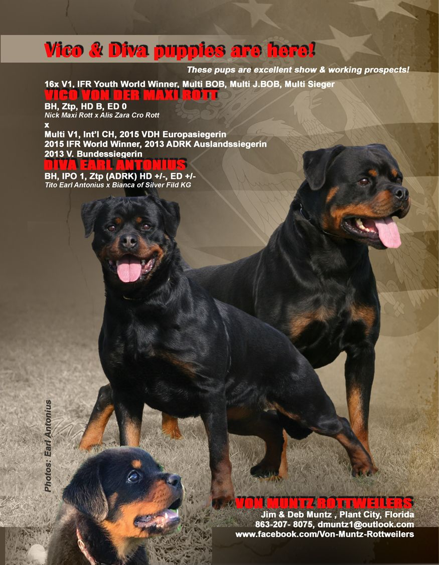 Puppies Are Here Von Muntz Rottweilers Jim Deb Muntz Plant City