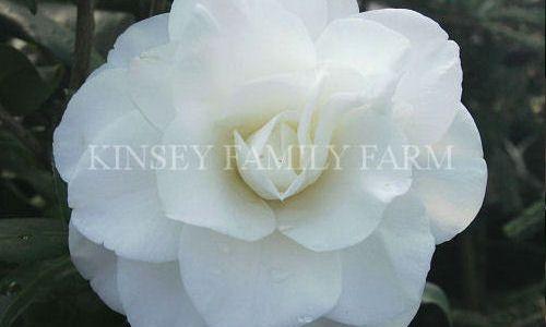 Camellias For Sale Georgia Camellia Plant Nursery Foundation Planting