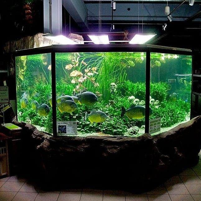 Follow Us On Instagram Aquascaperorg Aquarium Aquariumhobby Freshwater Freshwaterfish Tropicala Tropical Fish Aquarium Fish Tank Tropical Freshwater Fish