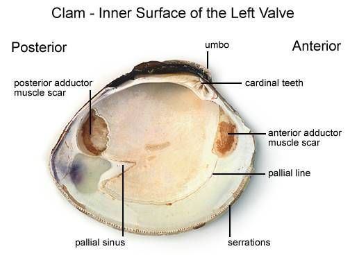 Mollusca Diagram Labeled 50cc Quad Wiring Clam Dissection Introduction The Phylum Includes Snails Clams Chitons Slugs Limpets