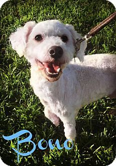 Phoenix Az Poodle Miniature Meet Bono A Dog For Adoption Http Www Adoptapet Com Pet 17623664 Phoenix Arizona Poodl Miniature Poodle Dog Adoption Pets