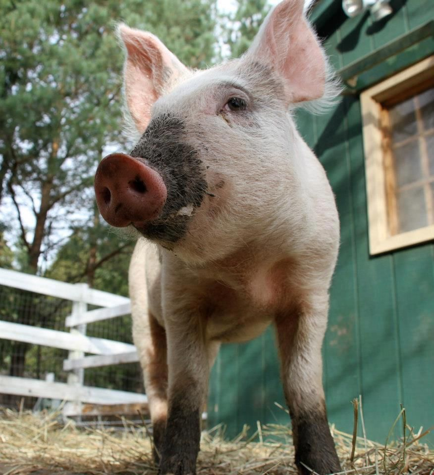 Edgar fell from a transport truck as a tiny, fragile baby in Quebec & was rescued & made his way to Snooters (July 2012)  To a life of safety ♥ and love -  Snooters Farm Animal Sanctuary