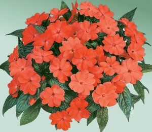 New Guinea Harmony® Salmon Impatiens