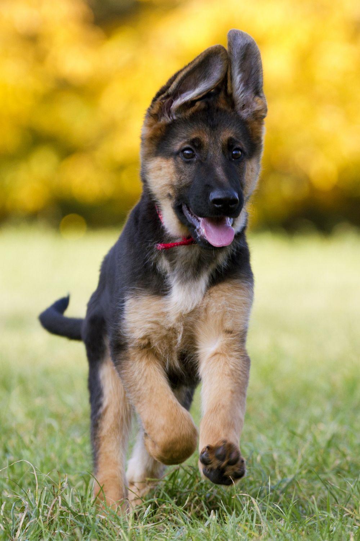 Hunderasse Schäferhund; Deutscher Schäferhund Welpe