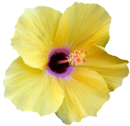 transparent-flowers:  Yellow Hibiscus. Hibiscus rosa-sinesis.(x).