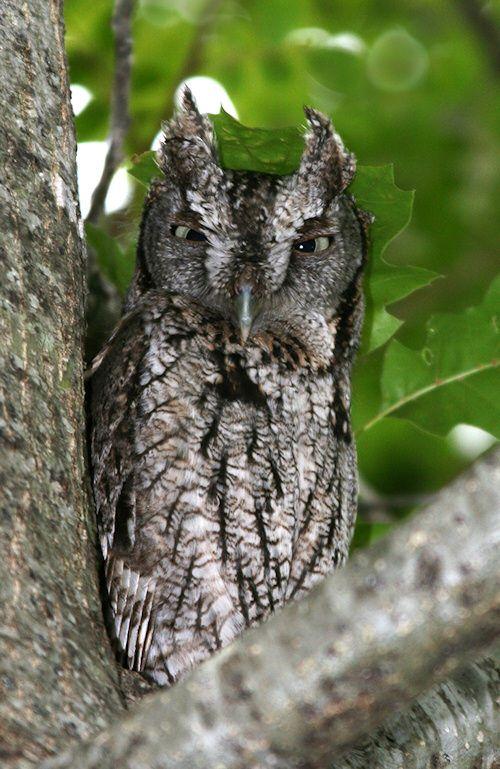 Eastern Screech Owl (Megascops asio) at roost. Photo by Karen Rogers.